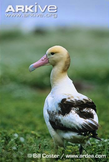 albatros cola corta Phoebastria albatrus
