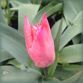 UrbanVegPatch: first tulip flower end of March