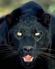 Crna pantera download besplatne pozadine slike za mobitele