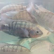 Mengenal Ikan Nila dengan Klasifikasi dan Morfologinya