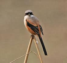 Dalam bahasa Inggris dikenal dengan nama  Mengenal Burung Pentet atau Burung Cendet