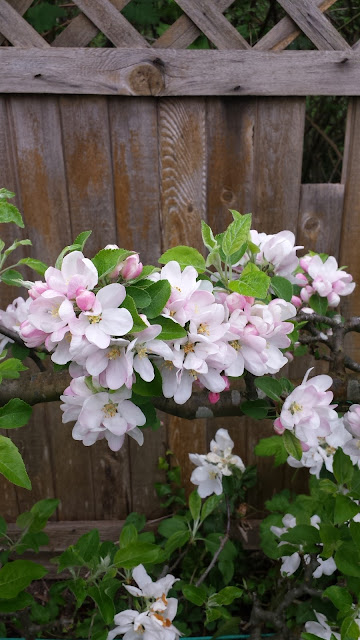 Espalier apple tree blossoms / blooms.