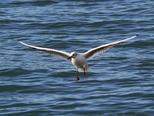Flying gull, Porto Mediceo, Livorno