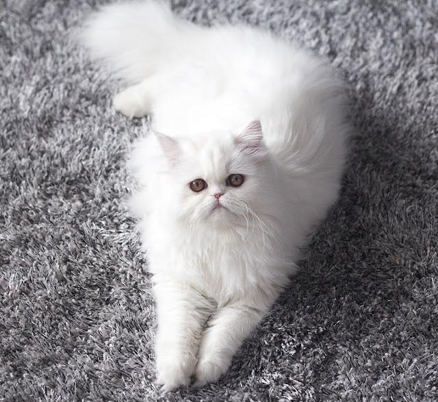 biały kot perski