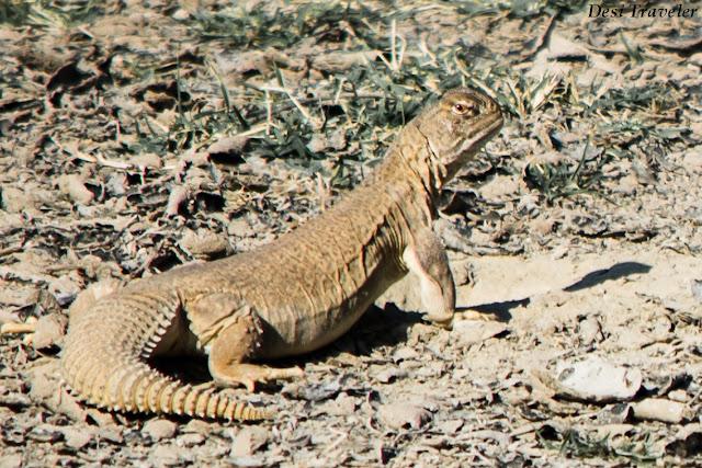 Spiny Tail Lizard - Sanda desert Lizard