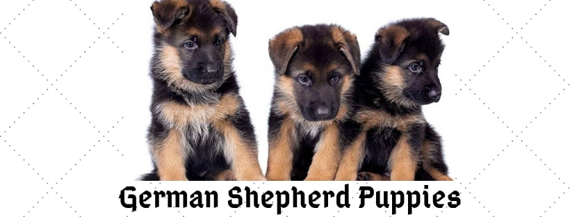 German Shepherd Puppy Information, Care and Price - Innocent Dog