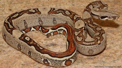 gambar ular boa