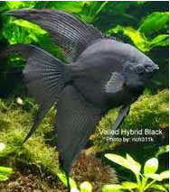 Inilah Jenis-Jenis Ikan Manfish/(Angelfish) Black Lace