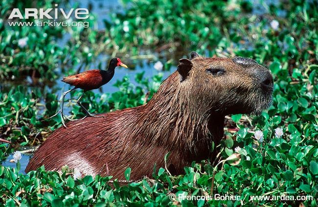 interactions between sudamerican wildlife Carpincho capybara