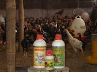 Viterna Plus Memacu Pertumbuhan Ayam Kampung Super Supaya Cepat Besar