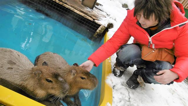 北海道 札幌 ノースサファリサッポロ カピバラ風呂