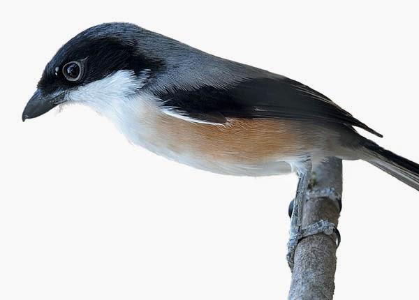 Blog Cerdas Trick Treating Bird Pentet Or Cendet Sounds Good So Fast
