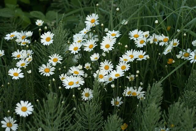 wild daisies, flowers, Ireland, Galway