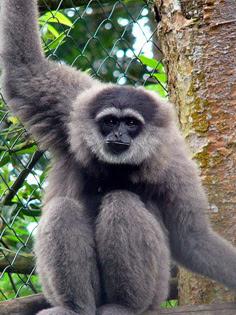 Silvery javan gibbon