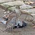 Hawk VS Cuckoo Bird