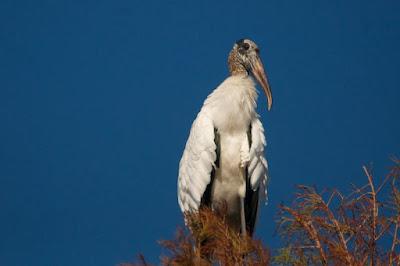 Wood Stork (Mycteria americana)