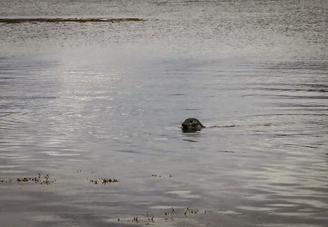 focas en Hvitanes
