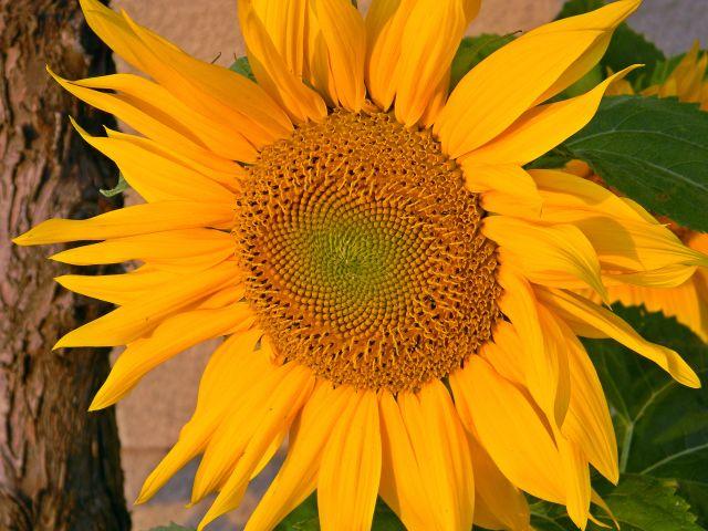 słonecznik, koło domu, kwiat, ozdoba