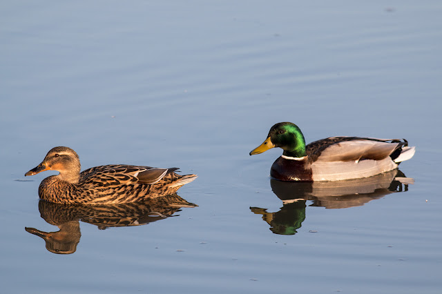 Female and Male Mallards