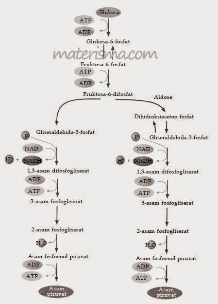 Proses Katabolisme Karbohidrat : proses, katabolisme, karbohidrat, Katabolisme, Anabolisme, Karbohidrat, Materi, Online