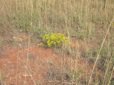 broom snakeweed, Guterrezia sarothrae
