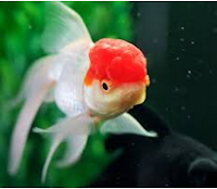 Jenis Ikan Koki Orando