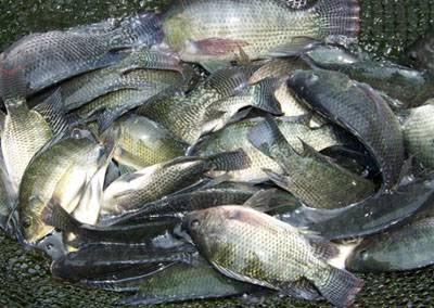 Usaha Ternak Ikan Nila
