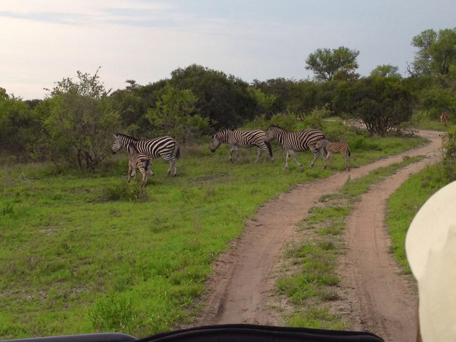 Sabi Sands - Game drive day 3: Zebra spotted!