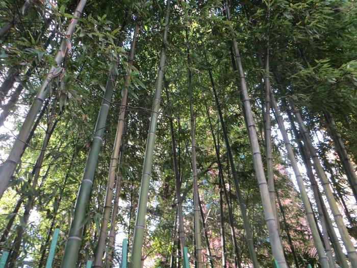 Бамбук растет