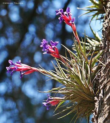 Clavel del aire Tillandsia aeranthos