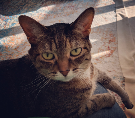 image of Sophie the Torbie Cat sitting on my lap and giving me A Look