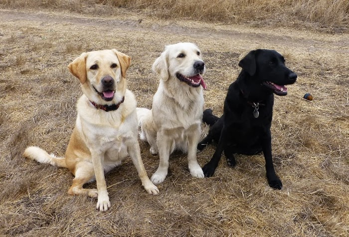 cabana sitting in dried field with an English cream golden retriever and a black lab, all three are sitting in a row with happy smiles, cabana is in her usual sloppy sit with her back legs splayed out