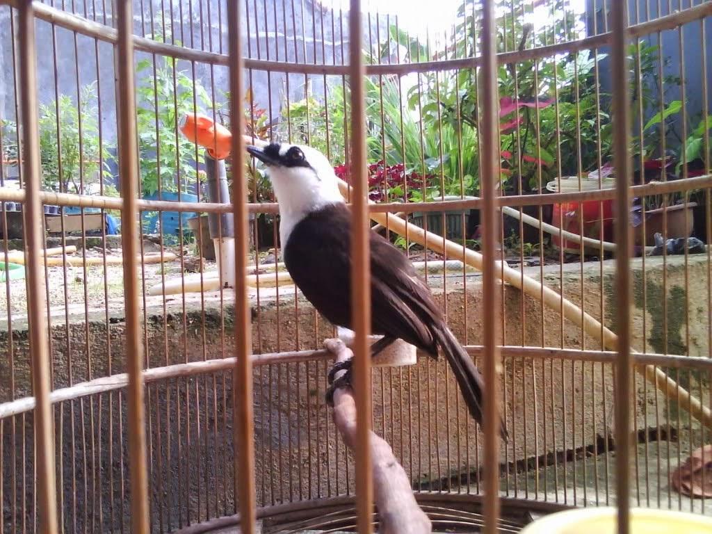 Belajar Bisnis Daftar Harga Burung Poksay Terbaru 2015 2015