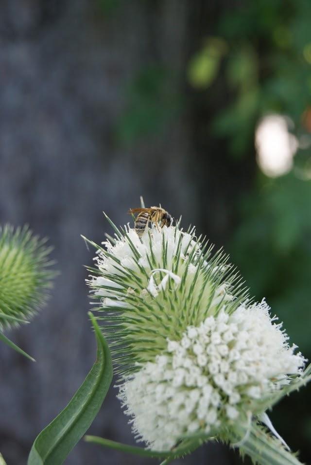 Garten Nahrung für Bienen Karden säen sich selbst aus
