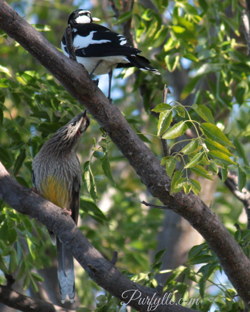 Pee-wee and red wattlebird