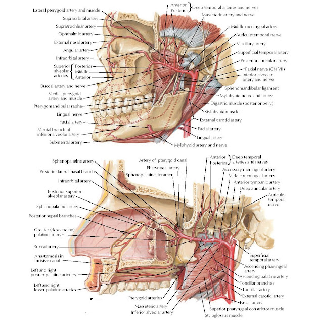 Maxillary Artery ANATOMY