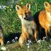 Tire as raposinhas do meio das suas vinhas. Elas são destruidoras.