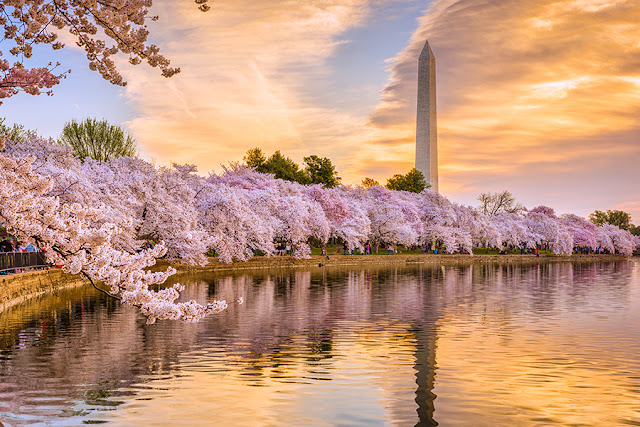 Cherry blossoms with Washington Monument. Via Adobe Stock.