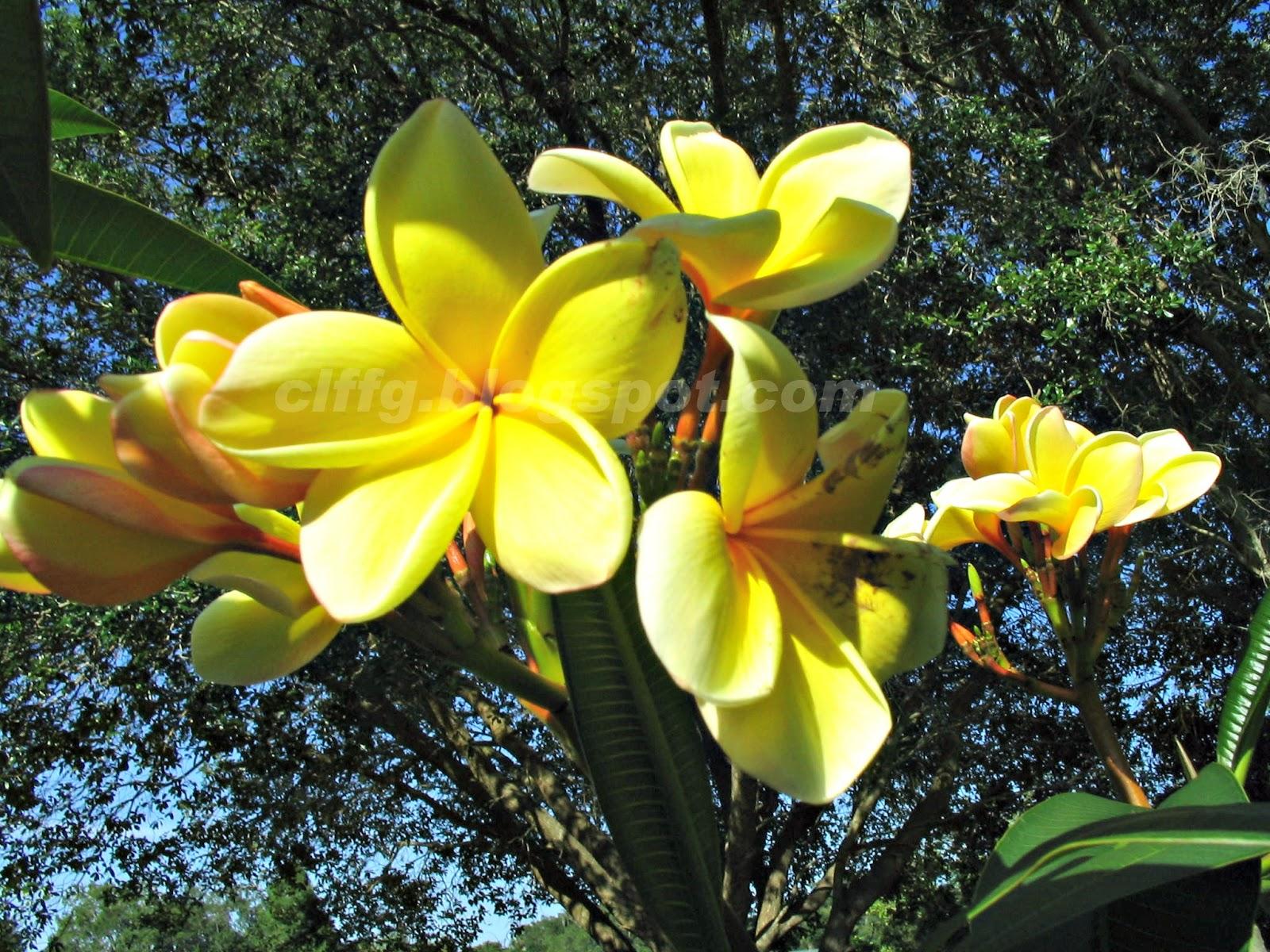 Yellow Flowering Trees In Florida Flowers Online 2018 Flowers Online