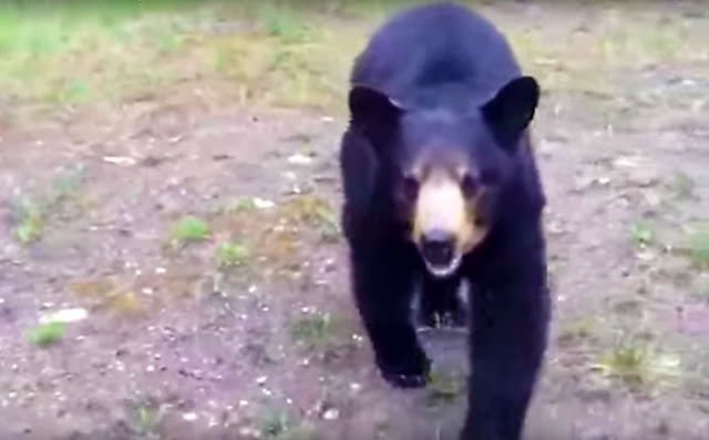 Screen Capture From The Video Of A Bear Stalking Two Hikers