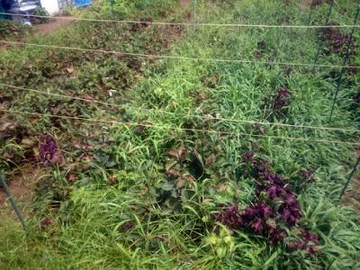 イチゴの畝の雑草はメヒシバがほとんど