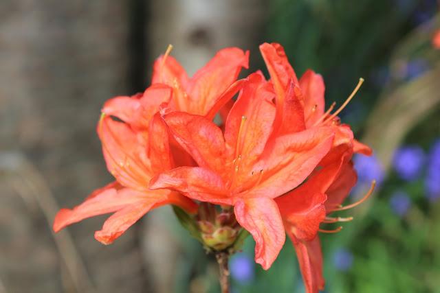 azalea at riverhill himalayan gardens