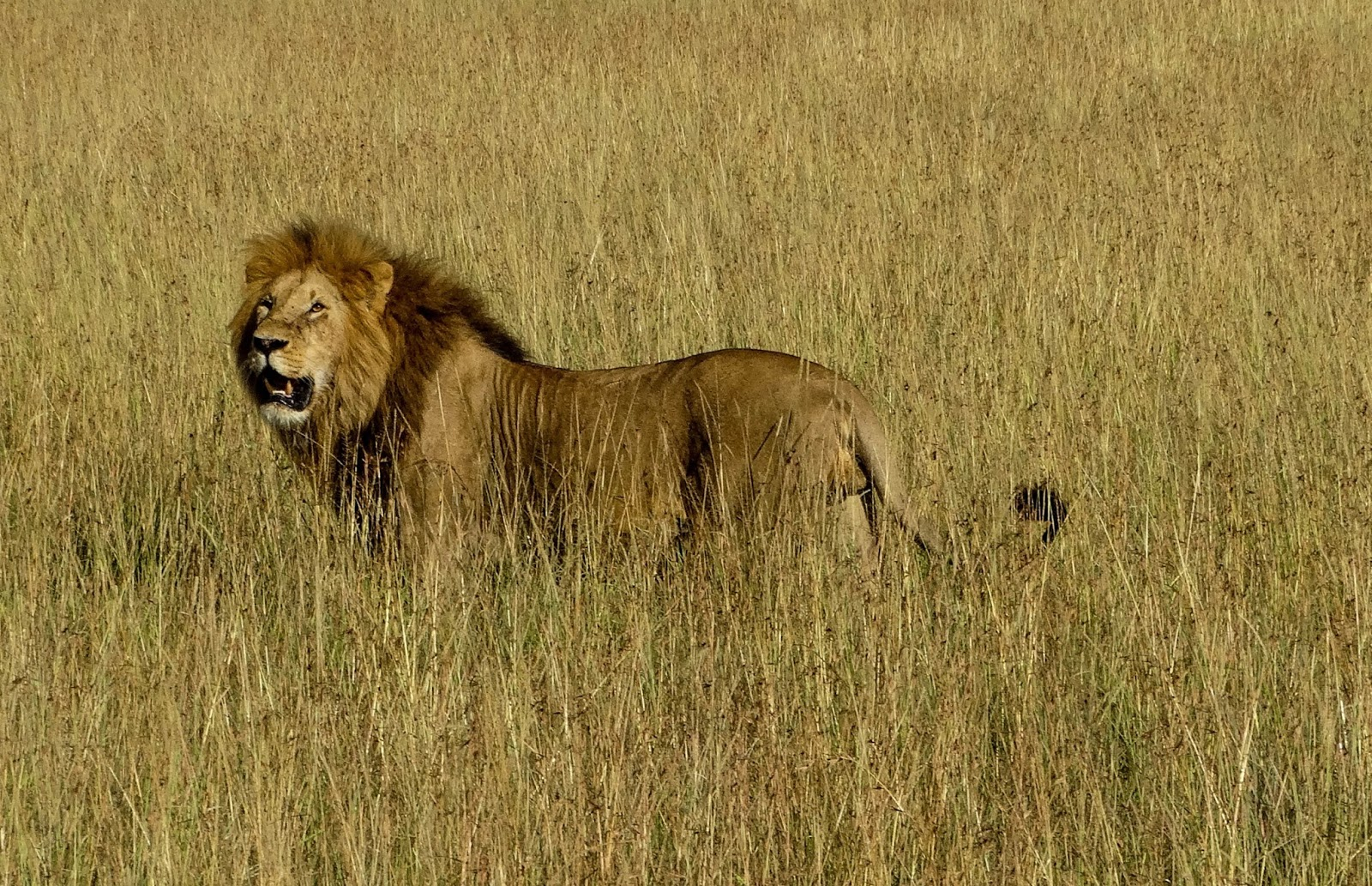 This is a lion photogr...