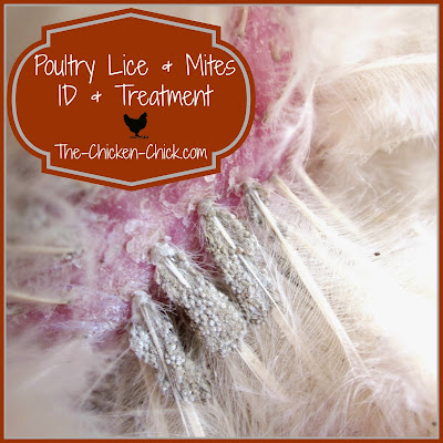 How To Treat Chicken Mites On Dogs