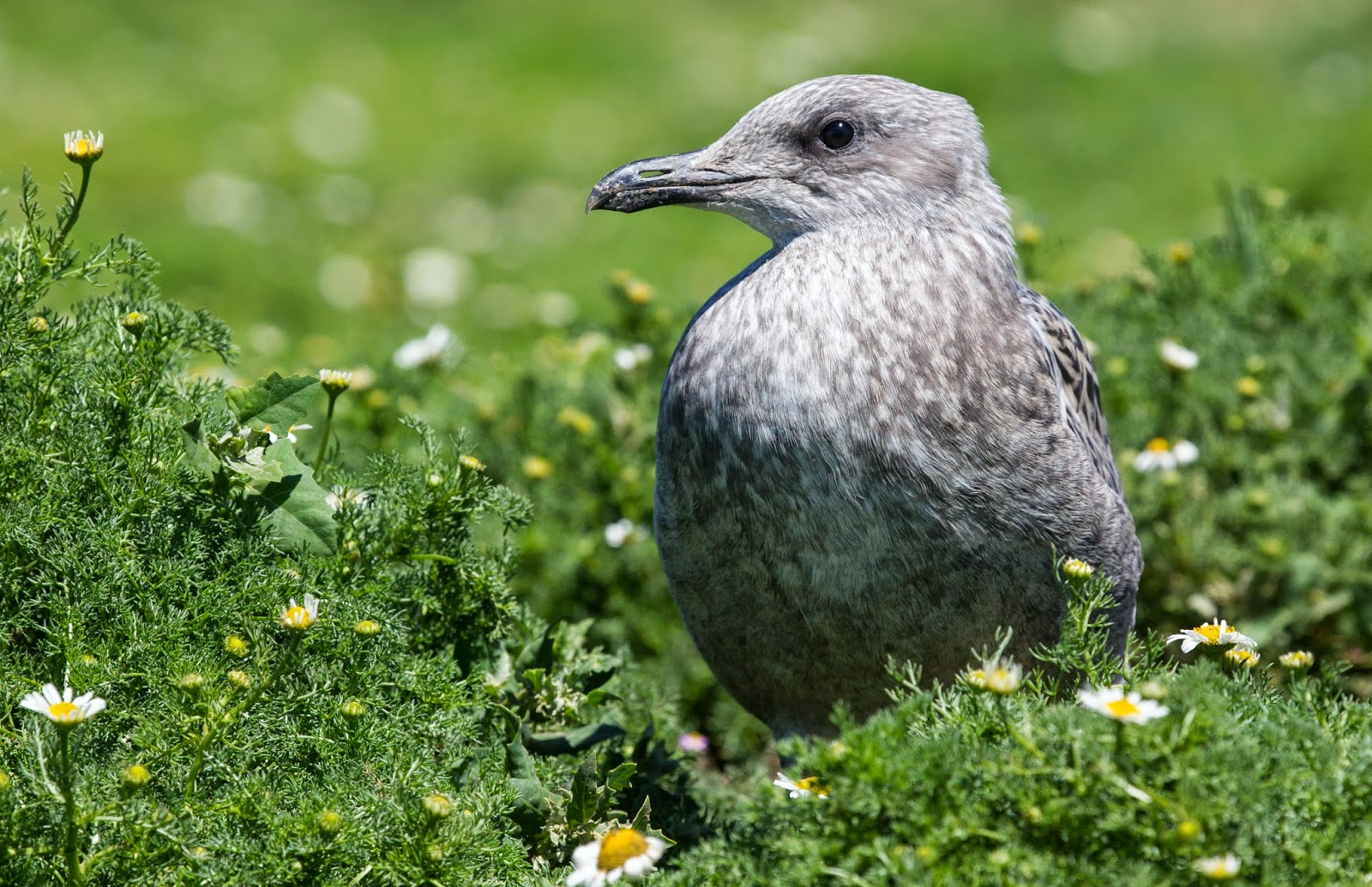 Juvenile Lesser Black-backed Gull - Skomer - Simon Colenutt