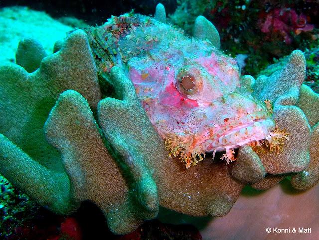 scorpionfish, pulau weh, indonesia, sumatera