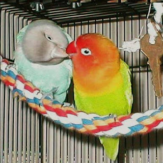 Lovebird macet produk
