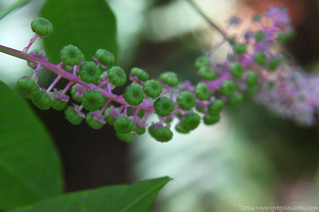Les fleurs de Phytolaque (phytolacca americana) donnent des fruits qui lui valent son nom