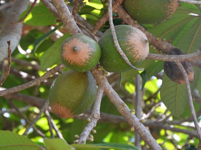 Rami Pouteria viridis