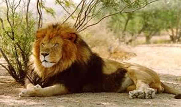 In 2007, there were four types of serious viruses found in lions in Gir area.